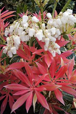 Pieris Mountain Fire